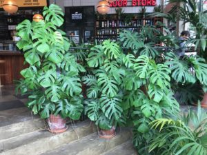 swiss cheese plants at mare st market