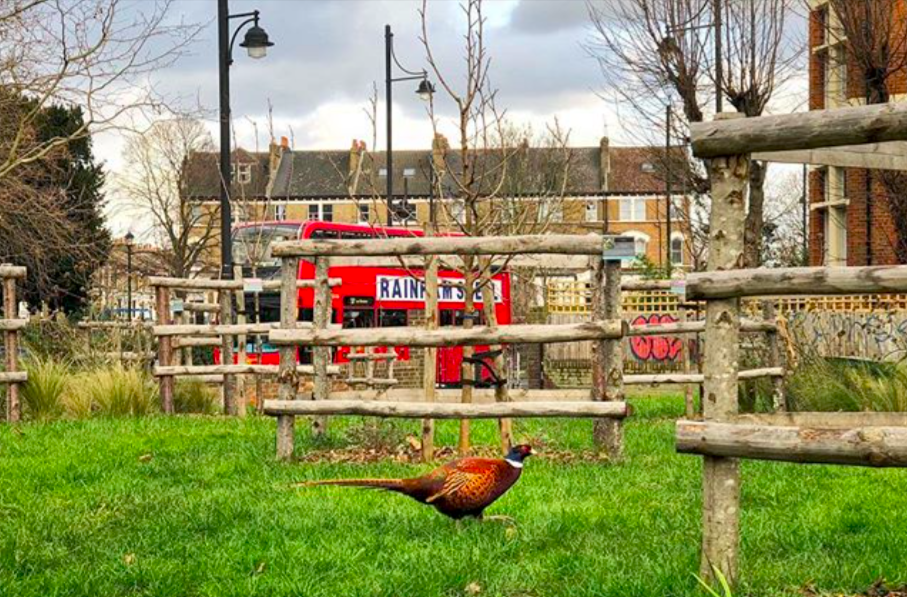 pheasant in the brixton orchard wildlife biodiversity london